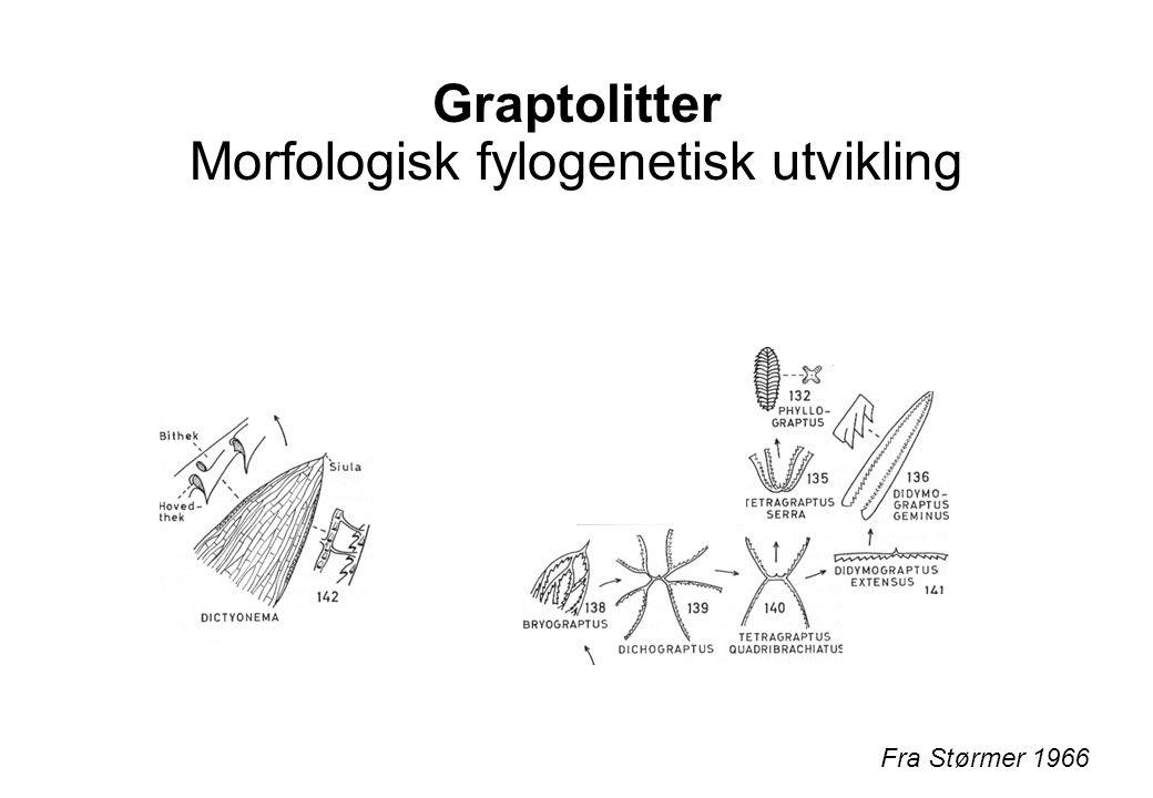 Graptolitter Morfologisk fylogenetisk utvikling Fra Størmer 1966