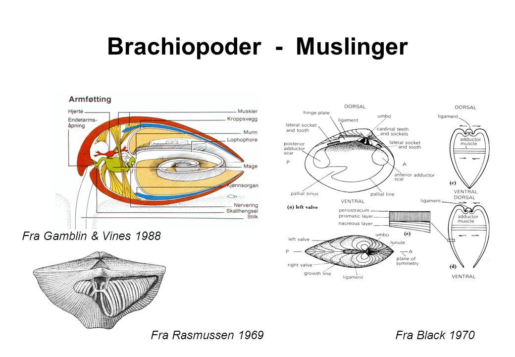 Brachiopoder - Muslinger Fra Rasmussen 1969Fra Black 1970 Fra Gamblin & Vines 1988