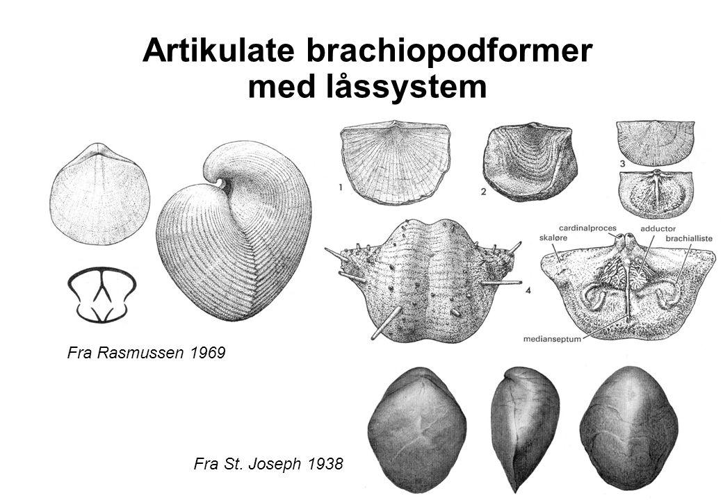 Artikulate brachiopodformer med låssystem Fra Rasmussen 1969 Fra St. Joseph 1938
