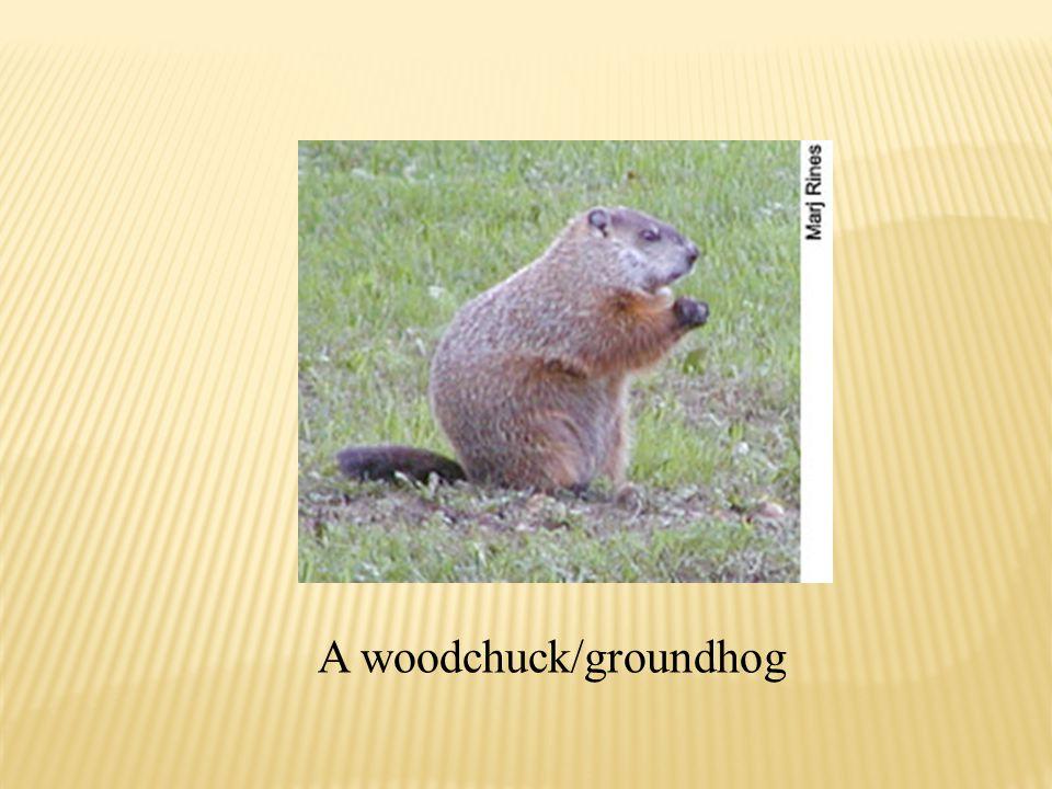 A woodchuck/groundhog