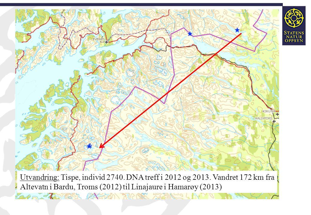 Utvandring: Tispe, individ 2740. DNA treff i 2012 og 2013. Vandret 172 km fra Altevatn i Bardu, Troms (2012) til Linajaure i Hamarøy (2013)