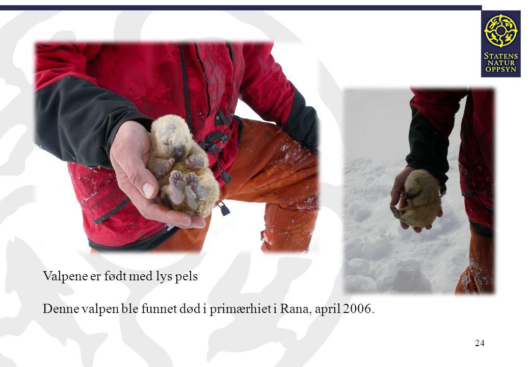 24 Valpene er født med lys pels Denne valpen ble funnet død i primærhiet i Rana, april 2006.