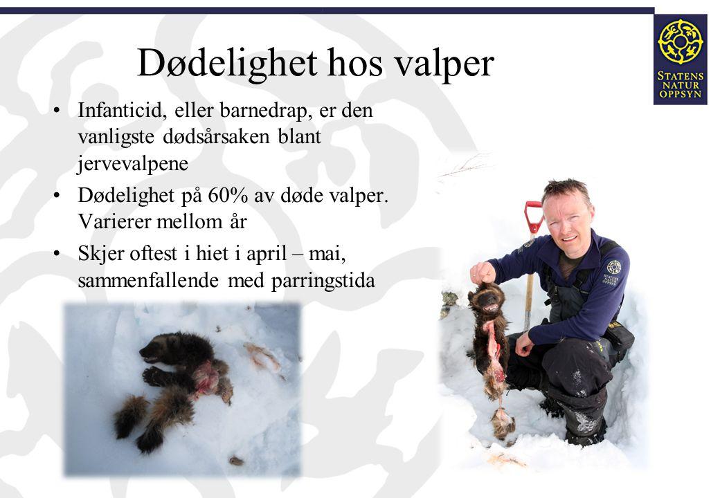 Dødelighet hos valper Infanticid, eller barnedrap, er den vanligste dødsårsaken blant jervevalpene Dødelighet på 60% av døde valper. Varierer mellom å