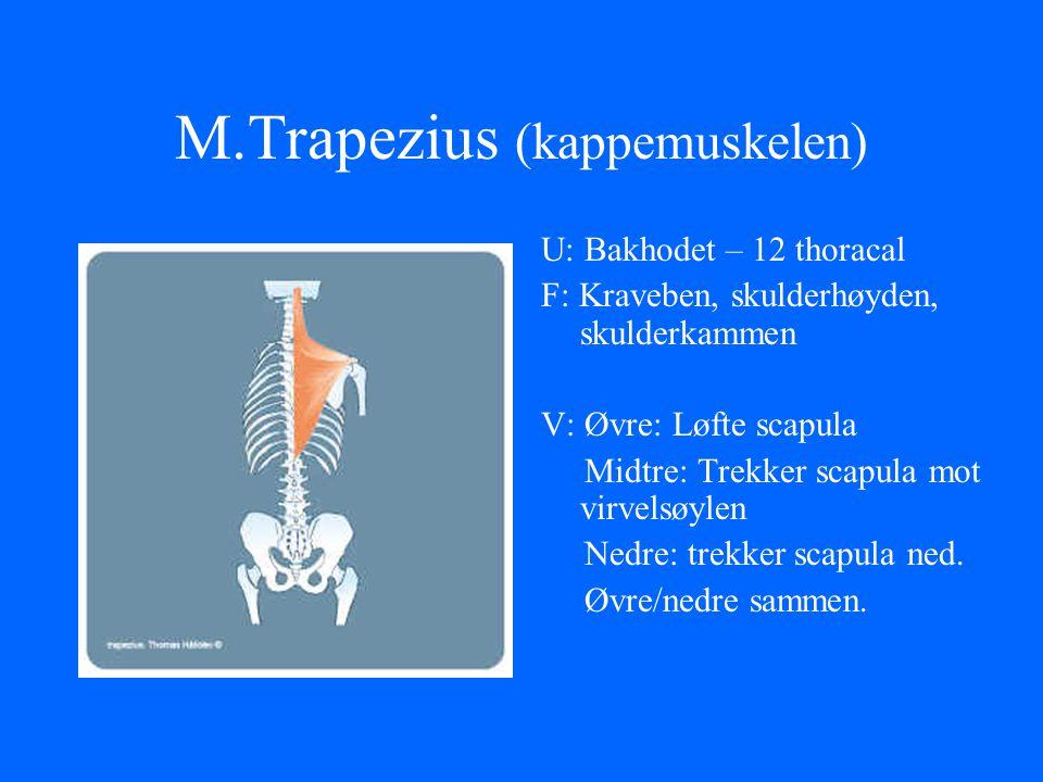 M.Trapezius (kappemuskelen) U: Bakhodet – 12 thoracal F: Kraveben, skulderhøyden, skulderkammen V: Øvre: Løfte scapula Midtre: Trekker scapula mot vir