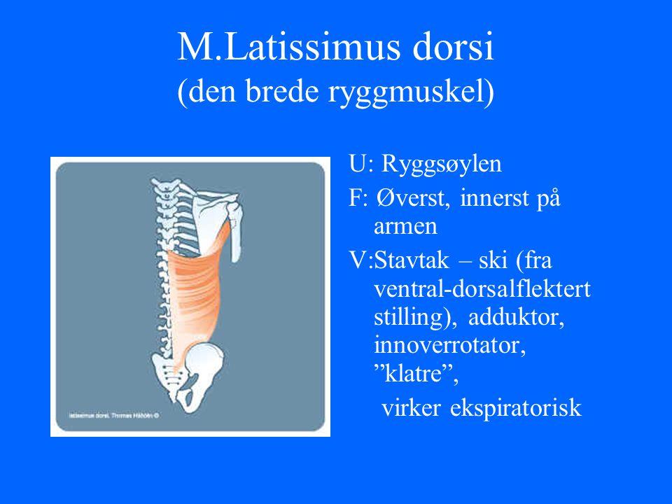 M.Latissimus dorsi (den brede ryggmuskel) U: Ryggsøylen F: Øverst, innerst på armen V:Stavtak – ski (fra ventral-dorsalflektert stilling), adduktor, i
