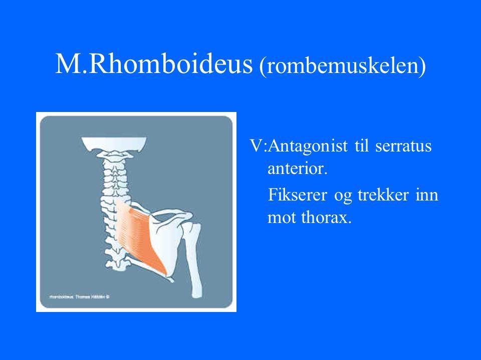 M.Rhomboideus (rombemuskelen) V:Antagonist til serratus anterior. Fikserer og trekker inn mot thorax.