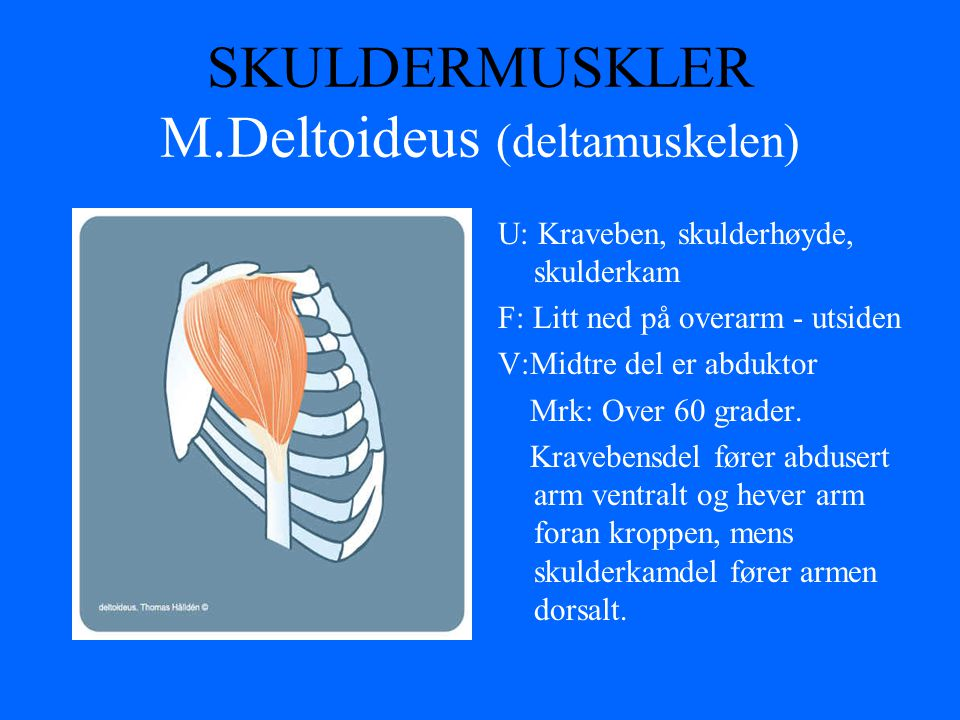SKULDERMUSKLER M.Deltoideus (deltamuskelen) U: Kraveben, skulderhøyde, skulderkam F: Litt ned på overarm - utsiden V:Midtre del er abduktor Mrk: Over