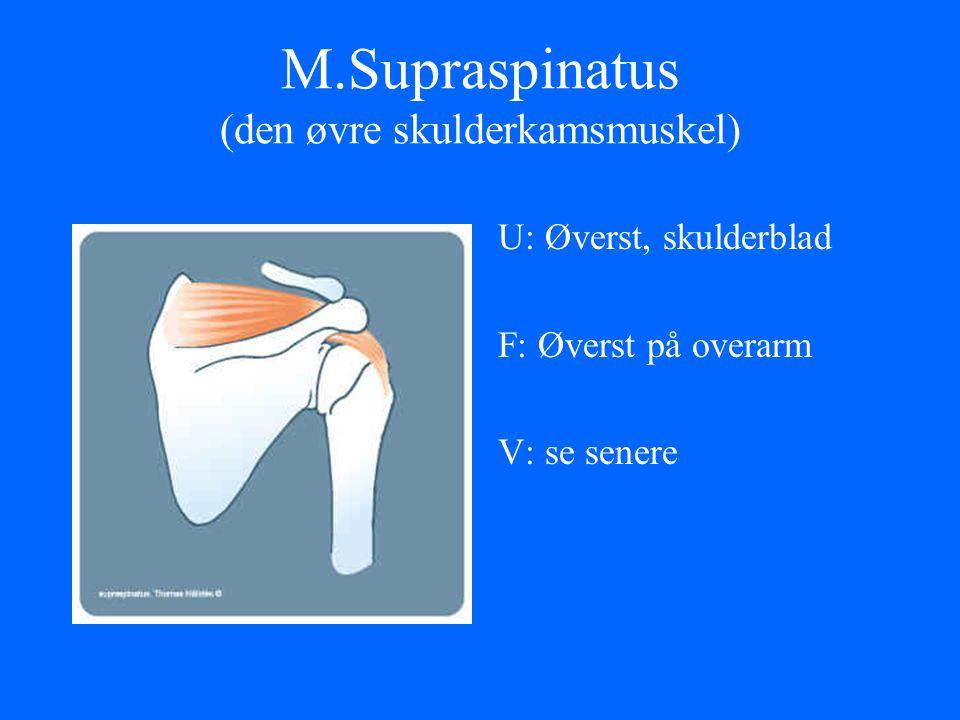 M.Supraspinatus (den øvre skulderkamsmuskel) U: Øverst, skulderblad F: Øverst på overarm V: se senere