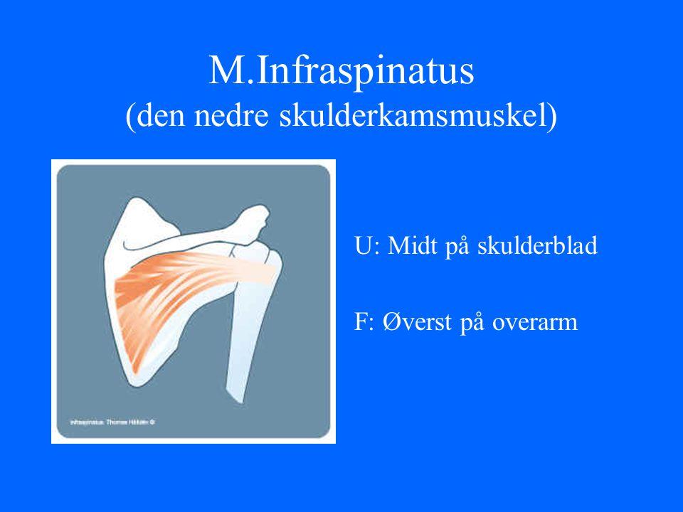 M.Infraspinatus (den nedre skulderkamsmuskel) U: Midt på skulderblad F: Øverst på overarm