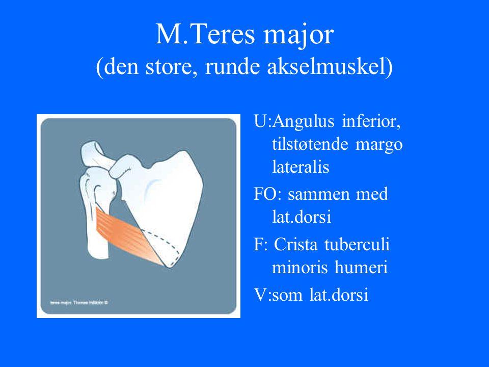 M.Teres major (den store, runde akselmuskel) U:Angulus inferior, tilstøtende margo lateralis FO: sammen med lat.dorsi F: Crista tuberculi minoris hume