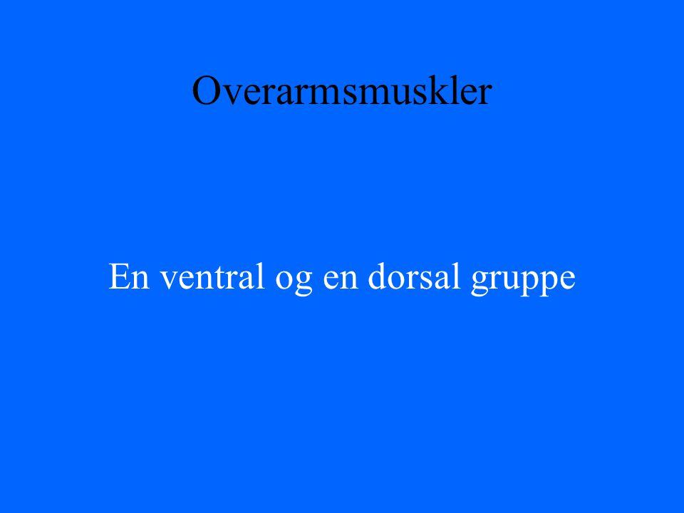Overarmsmuskler En ventral og en dorsal gruppe