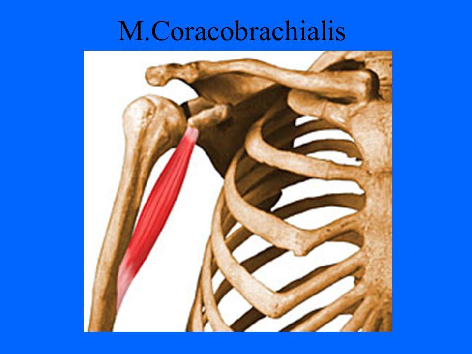 M.Coracobrachialis