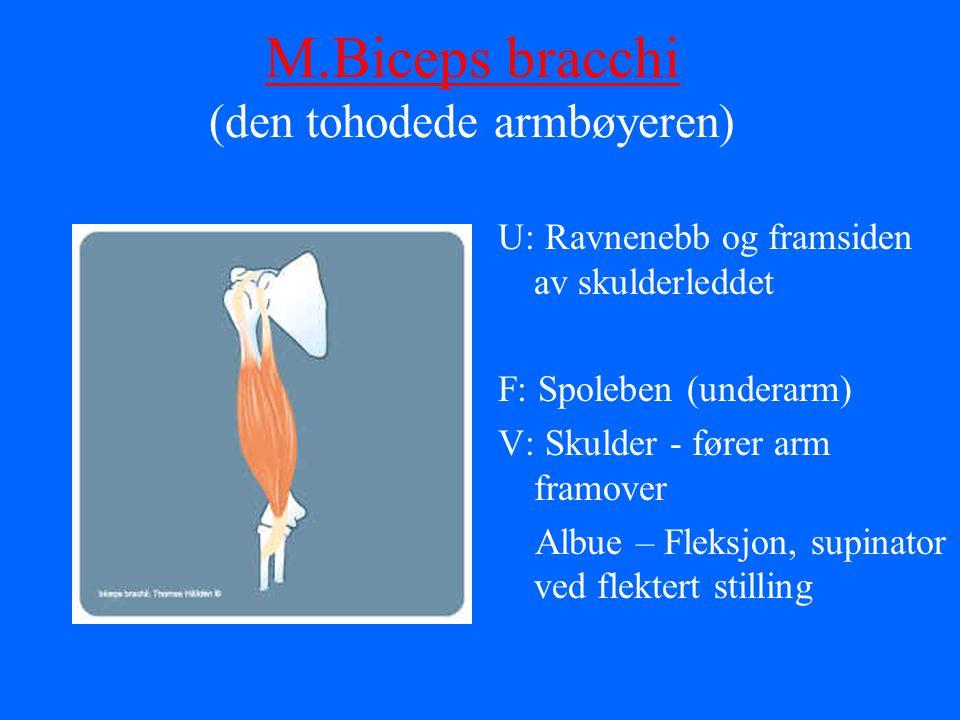 M.Biceps bracchi M.Biceps bracchi (den tohodede armbøyeren) U: Ravnenebb og framsiden av skulderleddet F: Spoleben (underarm) V: Skulder - fører arm f