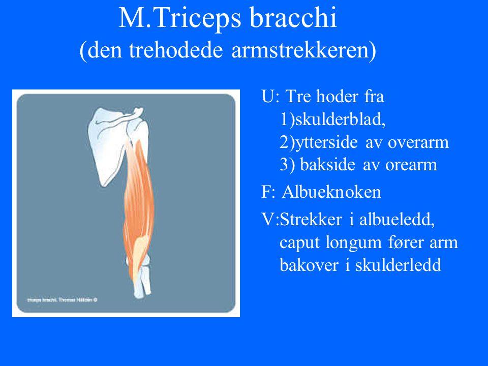 M.Triceps bracchi (den trehodede armstrekkeren) U: Tre hoder fra 1)skulderblad, 2)ytterside av overarm 3) bakside av orearm F: Albueknoken V:Strekker