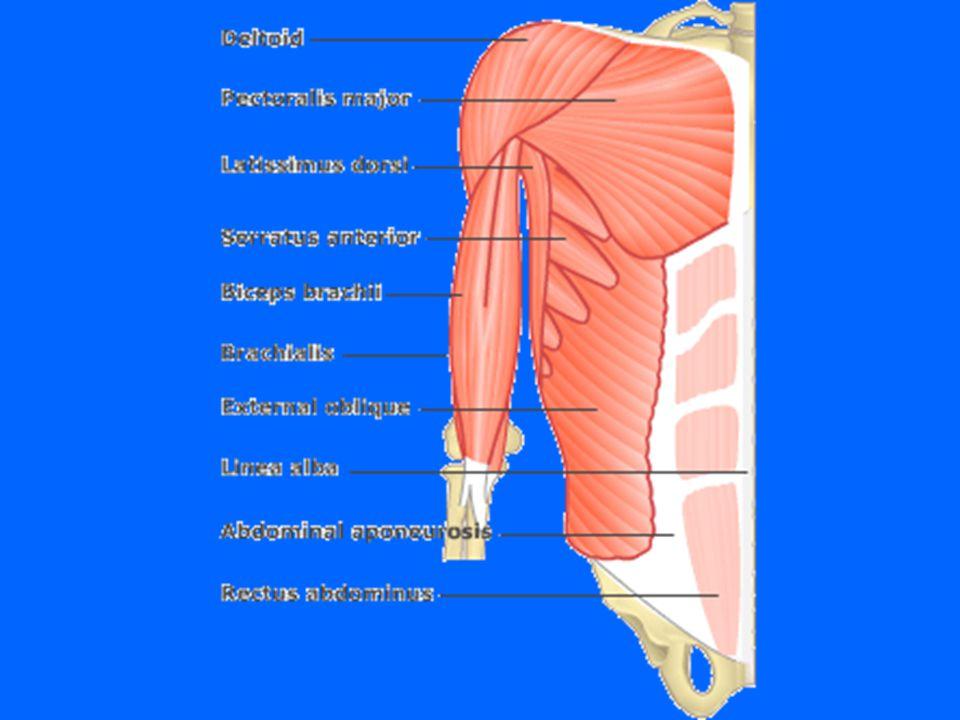 M.Pectoralis major (den store brystmuskelen) U: Kraveben, brystben, buk F:Øverst på armen V:Flektere og senke (hugg)i skulderledd Føre abd.