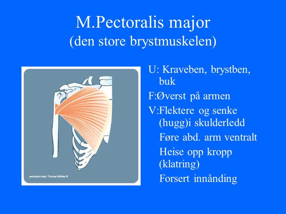 M.Pectoralis major (den store brystmuskelen) U: Kraveben, brystben, buk F:Øverst på armen V:Flektere og senke (hugg)i skulderledd Føre abd. arm ventra