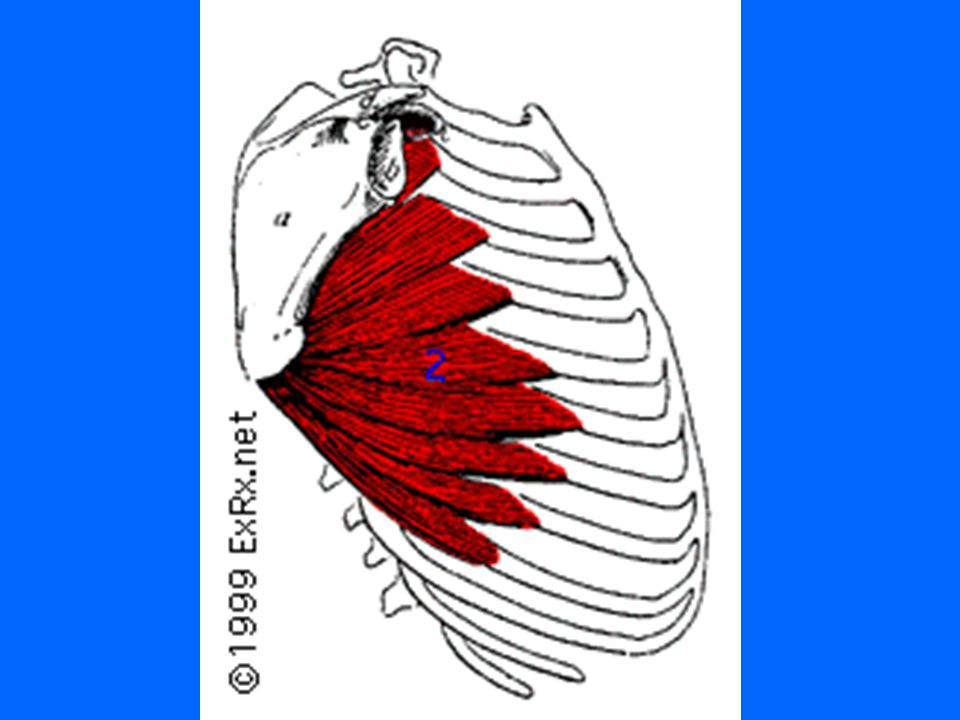 M.Serratus anterior (den fremre sagmuskel) U:9 øverste ribber F: Innsiden av skulderblad V:Fiksere scapula, trekke scapula (a.i) lateralt, hjelper m/løft av arm, kroppen henger i muskelen v/ push ups