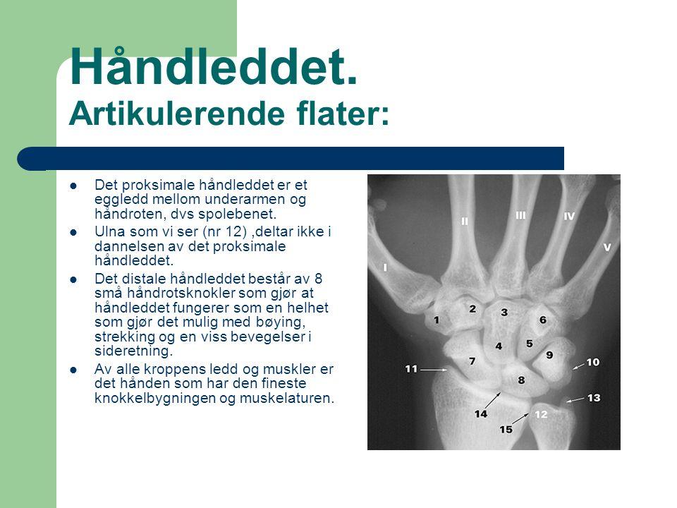 Håndleddet. Artikulerende flater: Det proksimale håndleddet er et eggledd mellom underarmen og håndroten, dvs spolebenet. Ulna som vi ser (nr 12),delt