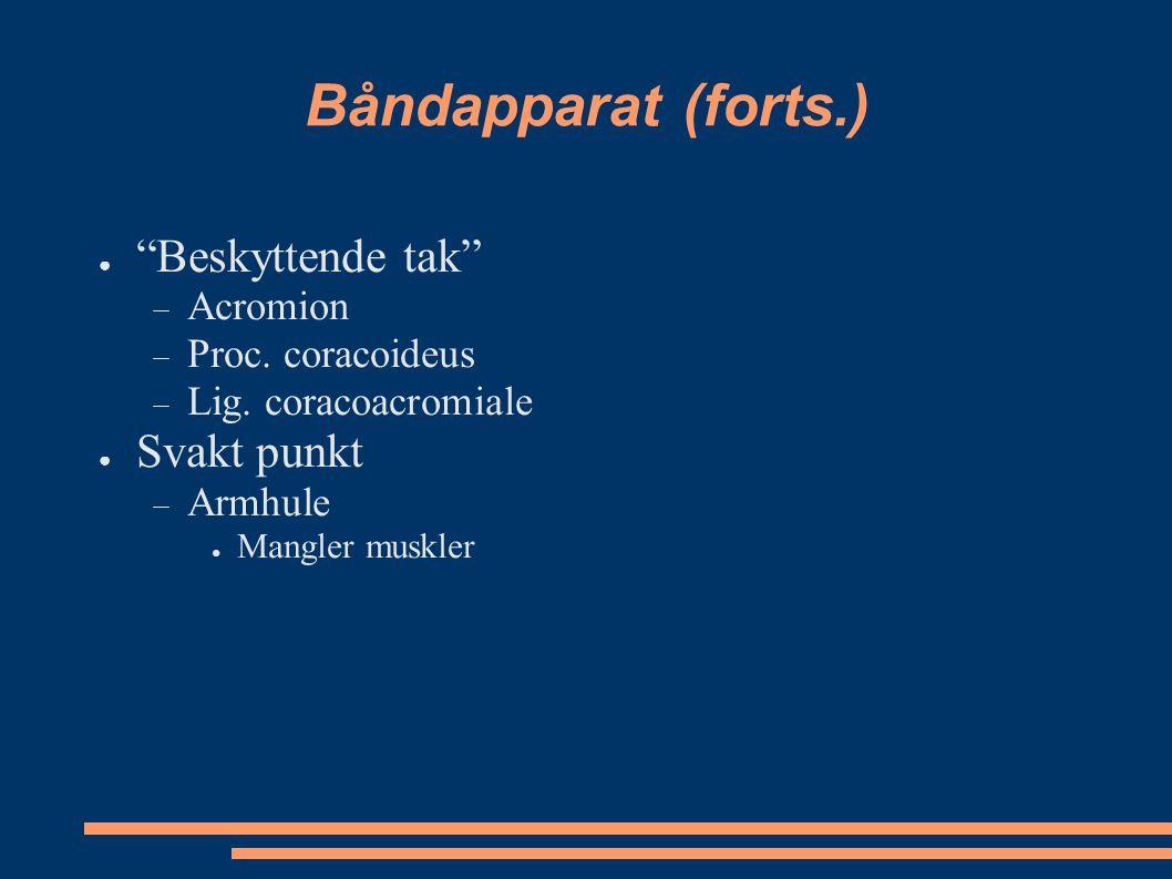"Båndapparat (forts.) ● ""Beskyttende tak""  Acromion  Proc. coracoideus  Lig. coracoacromiale ● Svakt punkt  Armhule ● Mangler muskler"