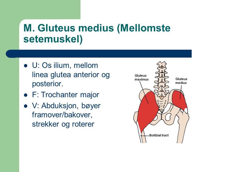 M. Gluteus medius (Mellomste setemuskel) U: Os ilium, mellom linea glutea anterior og posterior. F: Trochanter major V: Abduksjon, bøyer framover/bako