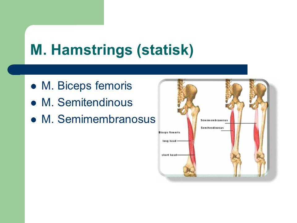 M. Hamstrings (statisk) M. Biceps femoris M. Semitendinous M. Semimembranosus