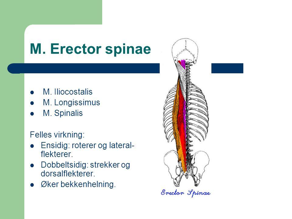 M. Erector spinae M. Iliocostalis M. Longissimus M. Spinalis Felles virkning: Ensidig: roterer og lateral- flekterer. Dobbeltsidig: strekker og dorsal