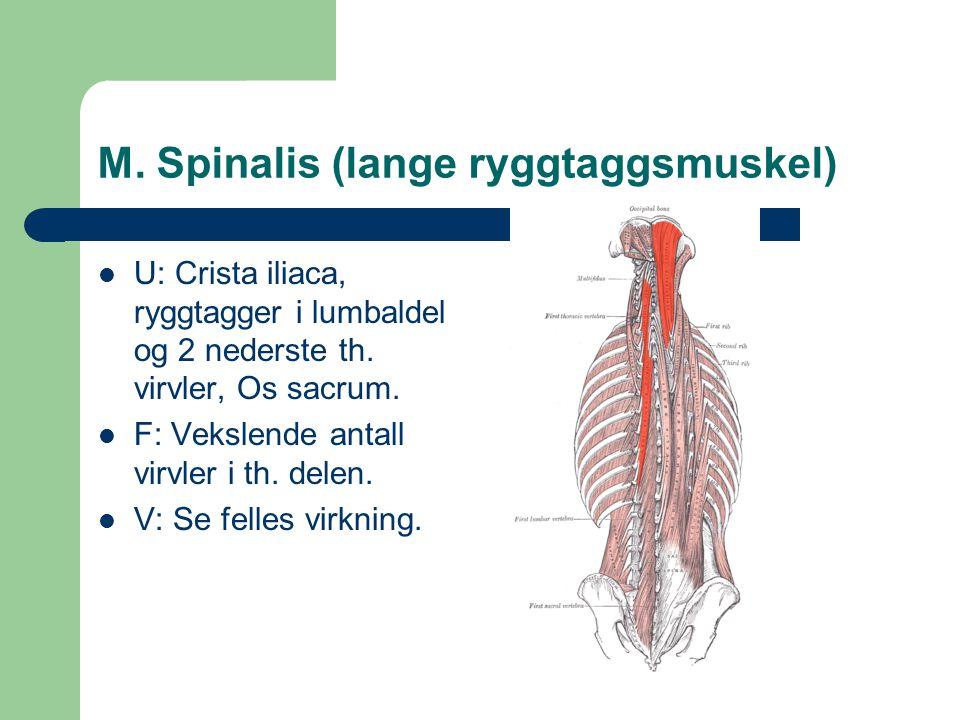 M. Spinalis (lange ryggtaggsmuskel) U: Crista iliaca, ryggtagger i lumbaldel og 2 nederste th. virvler, Os sacrum. F: Vekslende antall virvler i th. d