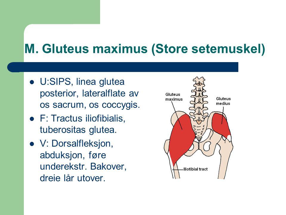 M. Gluteus maximus (Store setemuskel) U:SIPS, linea glutea posterior, lateralflate av os sacrum, os coccygis. F: Tractus iliofibialis, tuberositas glu