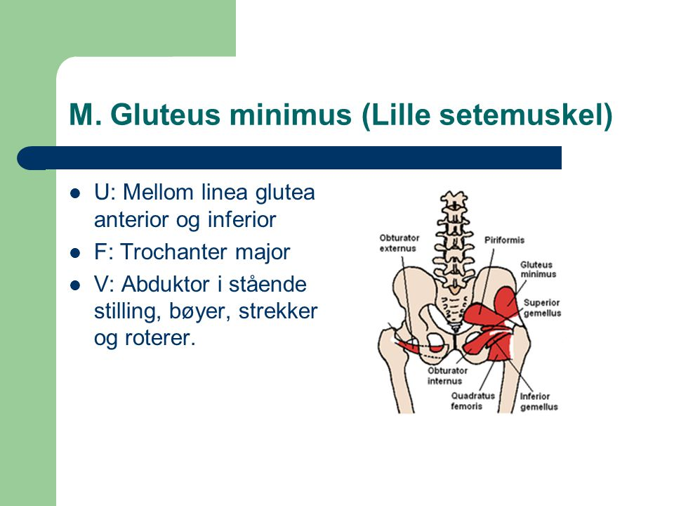 M.Gluteus medius (Mellomste setemuskel) U: Os ilium, mellom linea glutea anterior og posterior.