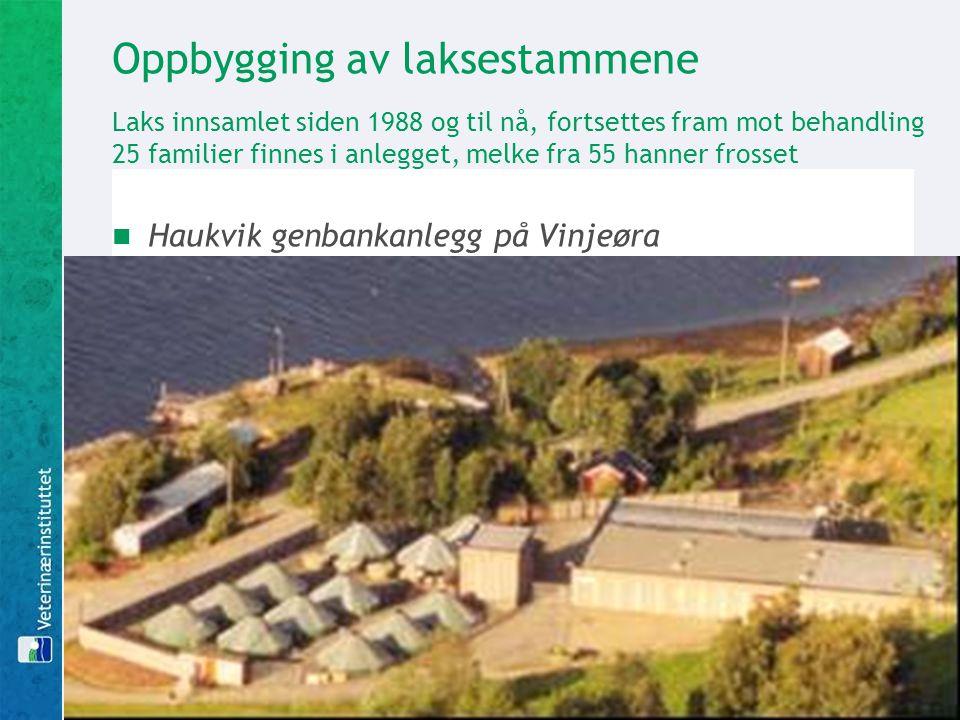 Oppbygging av laksestammene Laks innsamlet siden 1988 og til nå, fortsettes fram mot behandling 25 familier finnes i anlegget, melke fra 55 hanner frosset Haukvik genbankanlegg på Vinjeøra