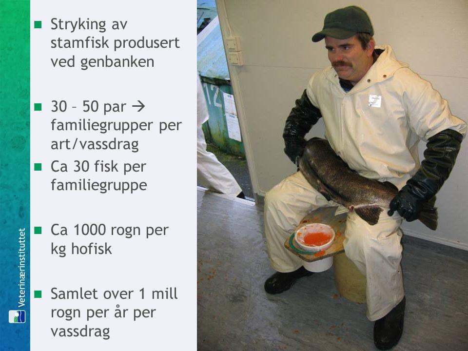 Stryking av stamfisk produsert ved genbanken 30 – 50 par  familiegrupper per art/vassdrag Ca 30 fisk per familiegruppe Ca 1000 rogn per kg hofisk Samlet over 1 mill rogn per år per vassdrag