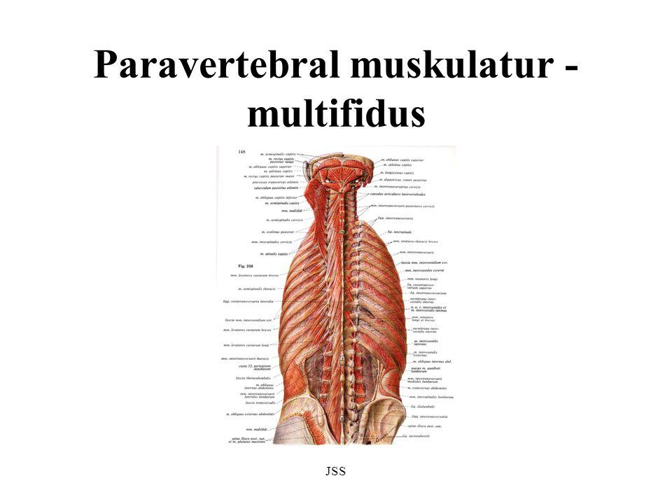 JSS Paravertebral muskulatur - multifidus