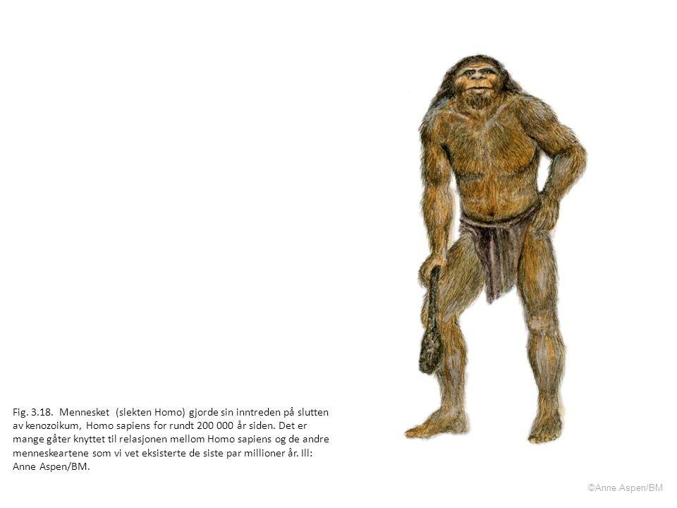 Fig. 3.18. Mennesket (slekten Homo) gjorde sin inntreden på slutten av kenozoikum, Homo sapiens for rundt 200 000 år siden. Det er mange gåter knyttet