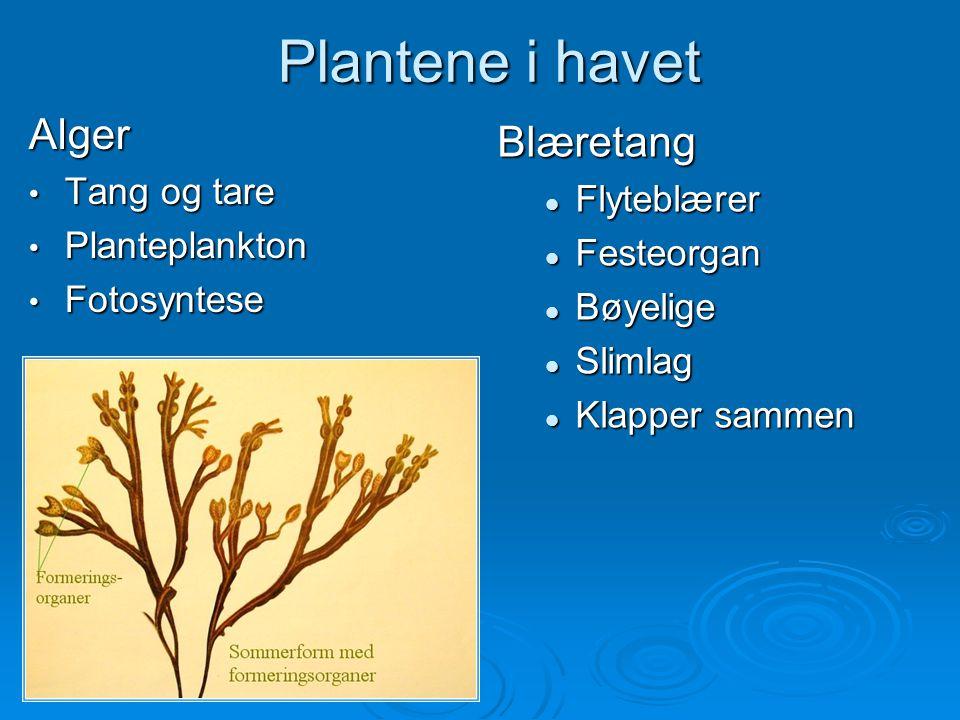 Plantene i havet Alger Tang og tare Tang og tare Planteplankton Planteplankton Fotosyntese Fotosyntese Blæretang Flyteblærer Festeorgan Bøyelige Sliml