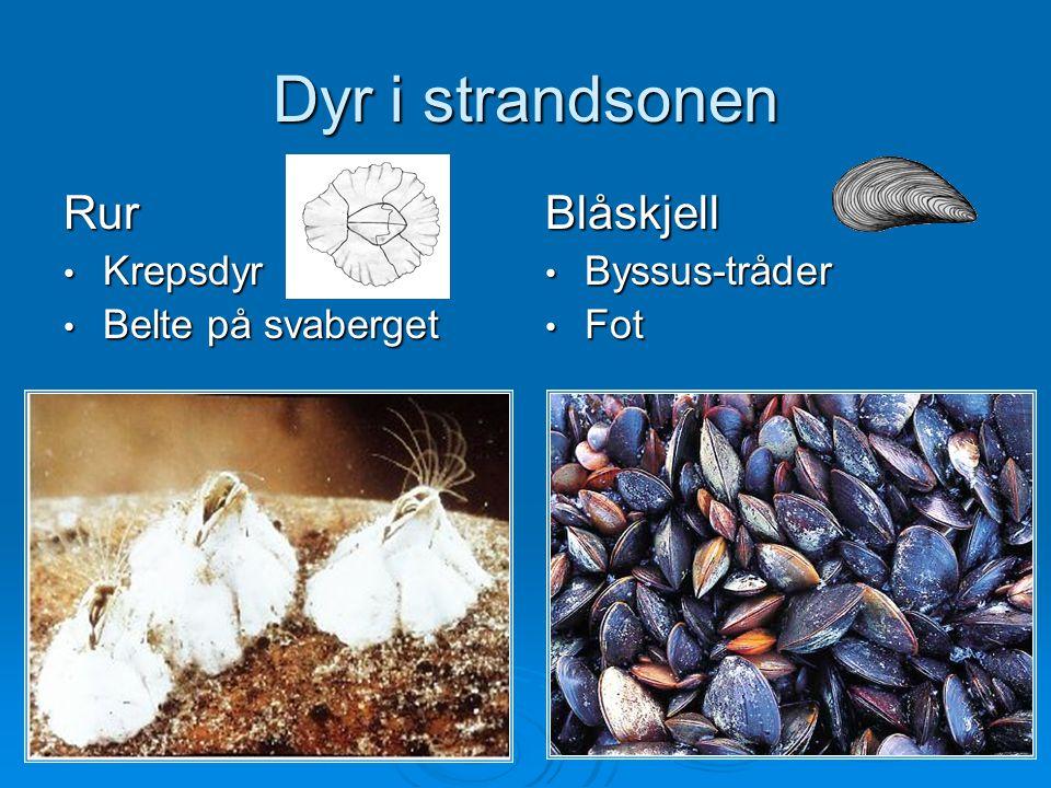 Dyr i strandsonen Rur Krepsdyr Krepsdyr Belte på svaberget Belte på svabergetBlåskjell Byssus-tråder Byssus-tråder Fot Fot