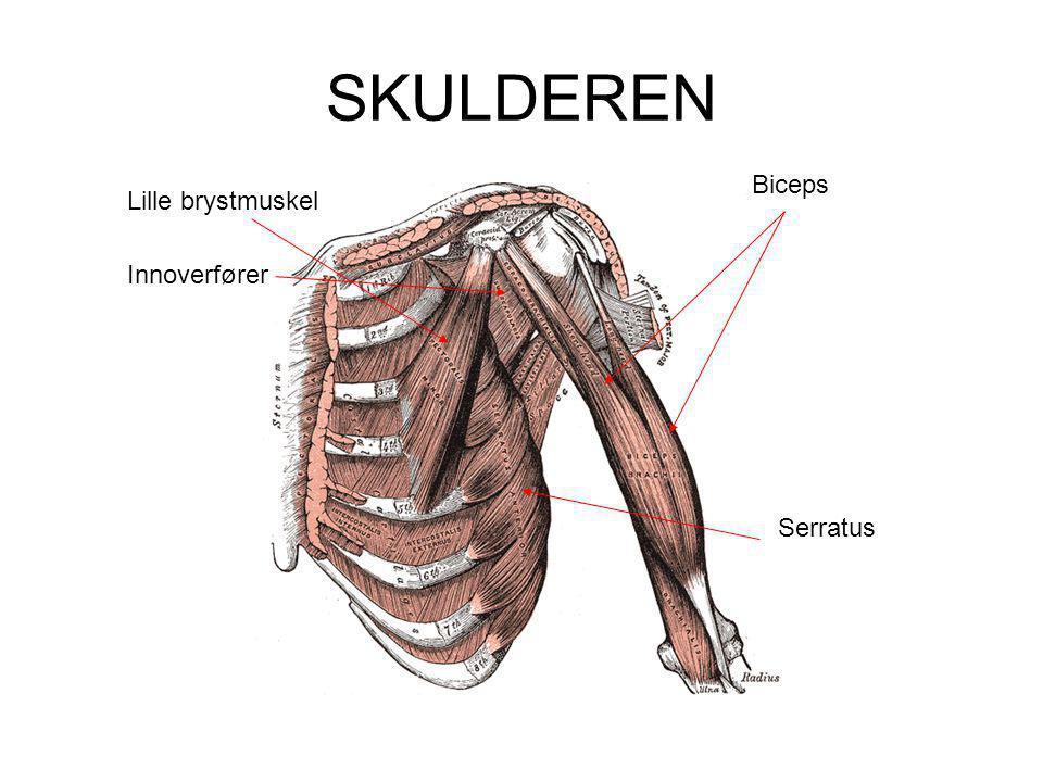 SKULDEREN Lille brystmuskel Biceps Innoverfører Serratus