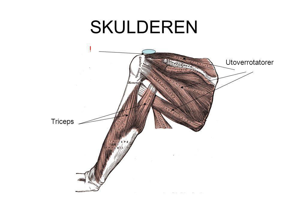 Dyp muskulatur  Ligger nært leddet  Skapt for stabilisering Type 1 fibre Type 1 fibre  Gir informasjon om leddets stilling Betydning for spenning.