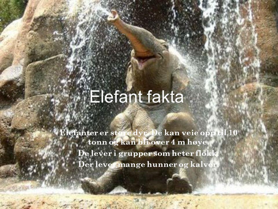 Elefant fakta Elefanter er store dyr. De kan veie opp til 10 tonn og kan bli over 4 m høye. De lever i grupper som heter flokk. Der lever mange hunner