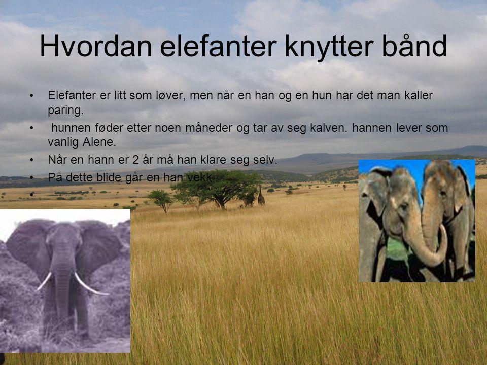 Hvordan elefanter knytter bånd Elefanter er litt som løver, men når en han og en hun har det man kaller paring. hunnen føder etter noen måneder og tar