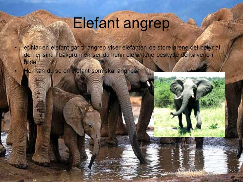 Elefant angrep er Når en elefant går til angrep viser elefanten de store ørene det betyr at den er sint. I bakgrunnen ser du hunn elefantene beskytte