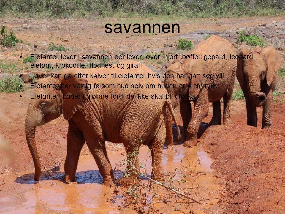 savannen Elefanter lever i savannen der lever løver, hjort, bøffel, gepard, leopard, elefant, krokodille, flodhest og giraff Løver kan gå etter kalver til elefanter hvis den har gått seg vill.