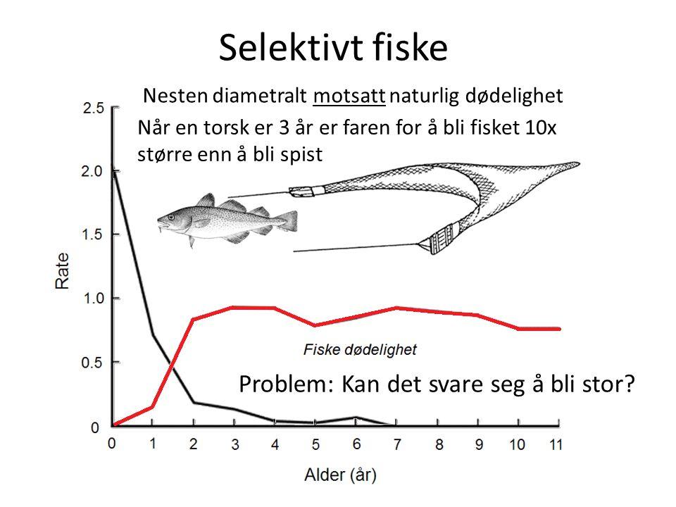 Selektivt fiske Nesten diametralt motsatt naturlig dødelighet Problem: Kan det svare seg å bli stor? Når en torsk er 3 år er faren for å bli fisket 10