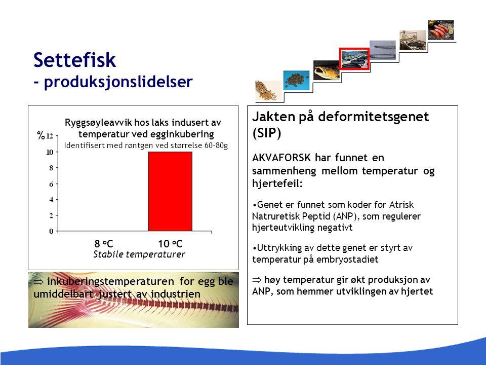 Settefisk - produksjonslidelser 8 o C10 o C Stabile temperaturer Ryggsøyleavvik hos laks indusert av temperatur ved egginkubering Identifisert med røn