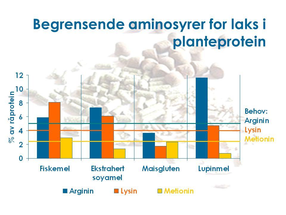 Begrensende aminosyrer for laks i planteprotein