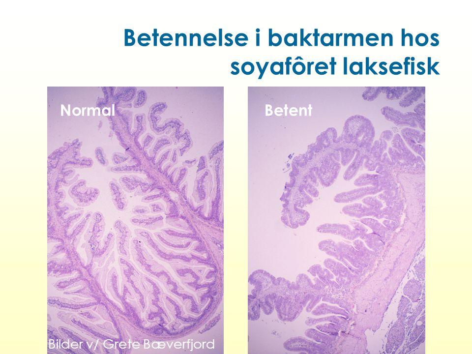 Betennelse i baktarmen hos soyafôret laksefisk NormalBetent Bilder v/ Grete Bæverfjord