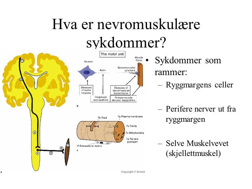 Hva er nevromuskulære sykdommer? Sykdommer som rammer: –Ryggmargens celler –Perifere nerver ut fra ryggmargen –Selve Muskelvevet (skjellettmuskel)
