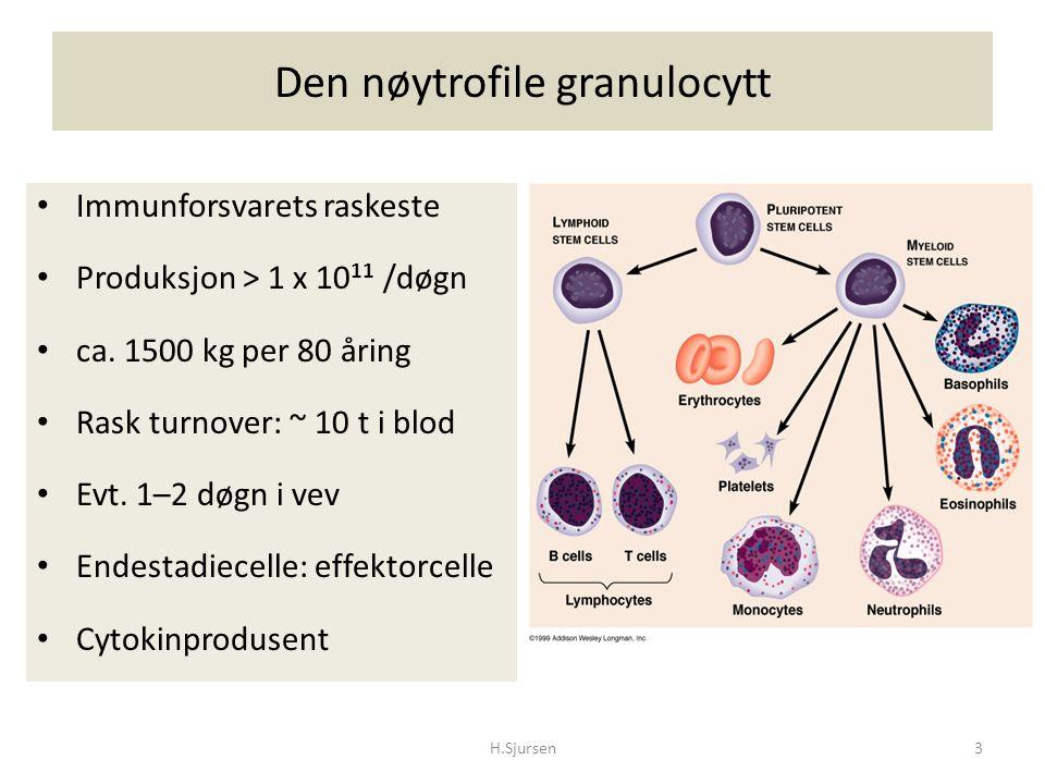 Den nøytrofile granulocytt Immunforsvarets raskeste Produksjon > 1 x 10 11 /døgn ca. 1500 kg per 80 åring Rask turnover: ~ 10 t i blod Evt. 1–2 døgn i