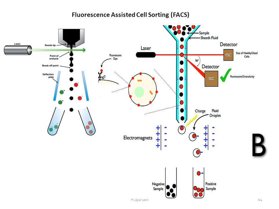 H.Sjursen41 Fluorescence Assisted Cell Sorting (FACS)