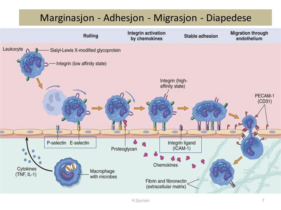 Kvantitative Granulocyttfunksjons defekter Leukemi, aplastisk anemi, nøytropeni, brannskader, sepsis, diabetes, underernæring, AIDS, nyfødte Hyppigere og alvorligere infeksjoner Ofte med spesielle mikrober Rammer ofte mononukleære fagocytter tilsvarende Funksjonsdefekten fører til lite kliniske funn tross fulminant infeksjon Sjelden sepsis og meningitt H.Sjursen28