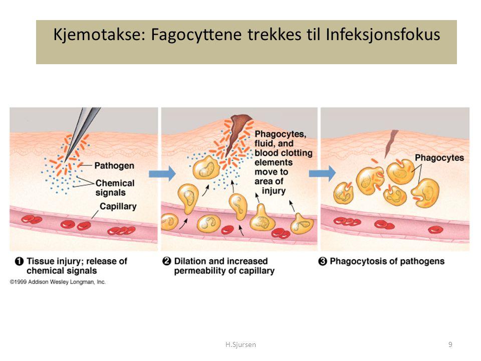 Kjemotakse: Fagocyttene trekkes til Infeksjonsfokus H.Sjursen9
